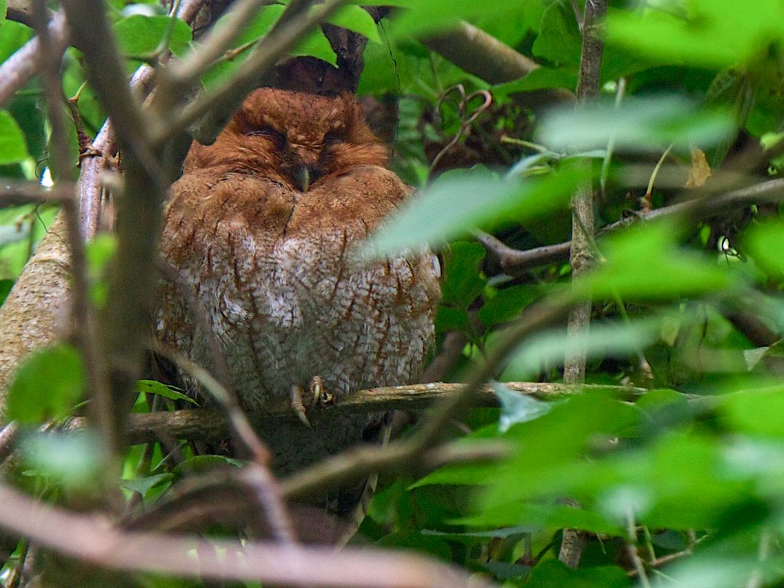Santa Marta Screech-Owl - Robert Tizard