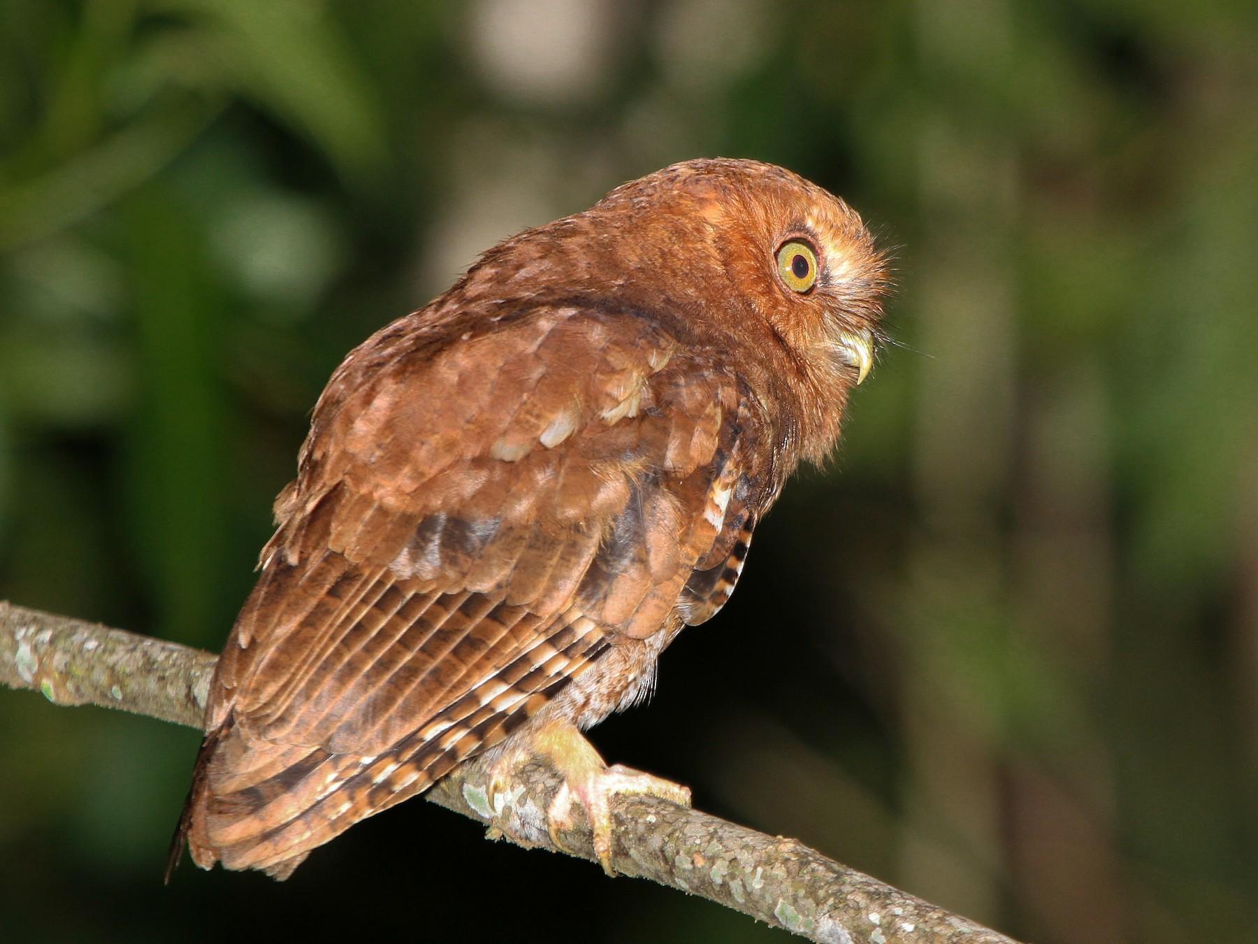 Santa Marta Screech-Owl - Pam Rasmussen