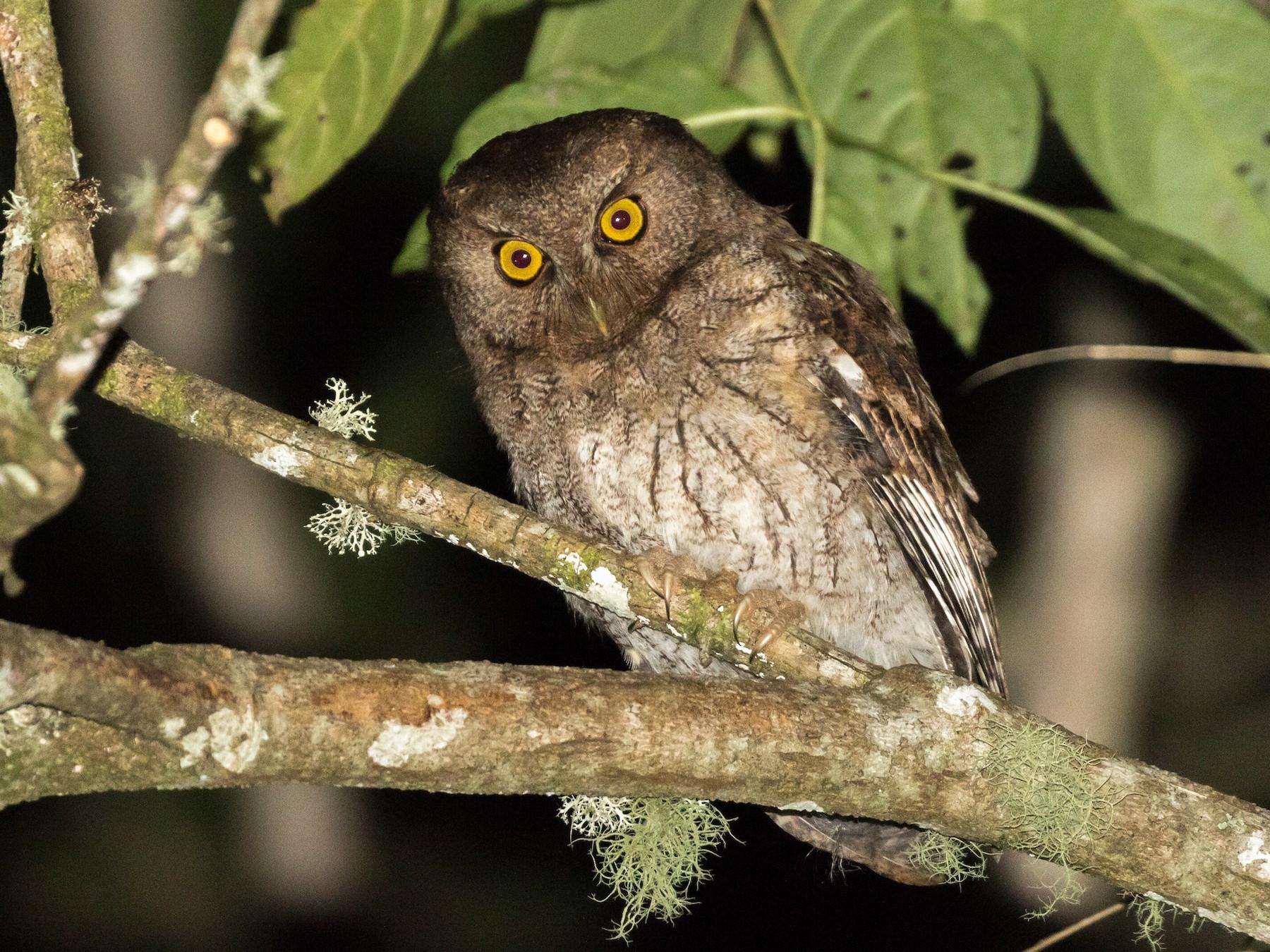 Santa Marta Screech-Owl - Rob Felix