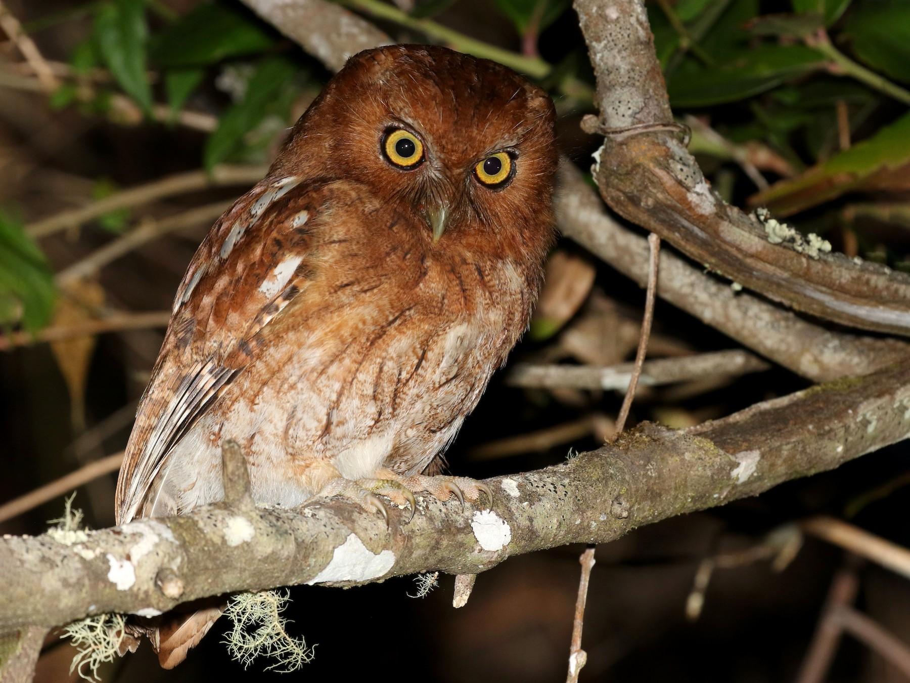 Santa Marta Screech-Owl - Matthew Grube