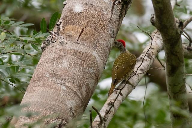 Mombasa Woodpecker