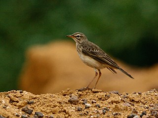 - Long-legged Pipit