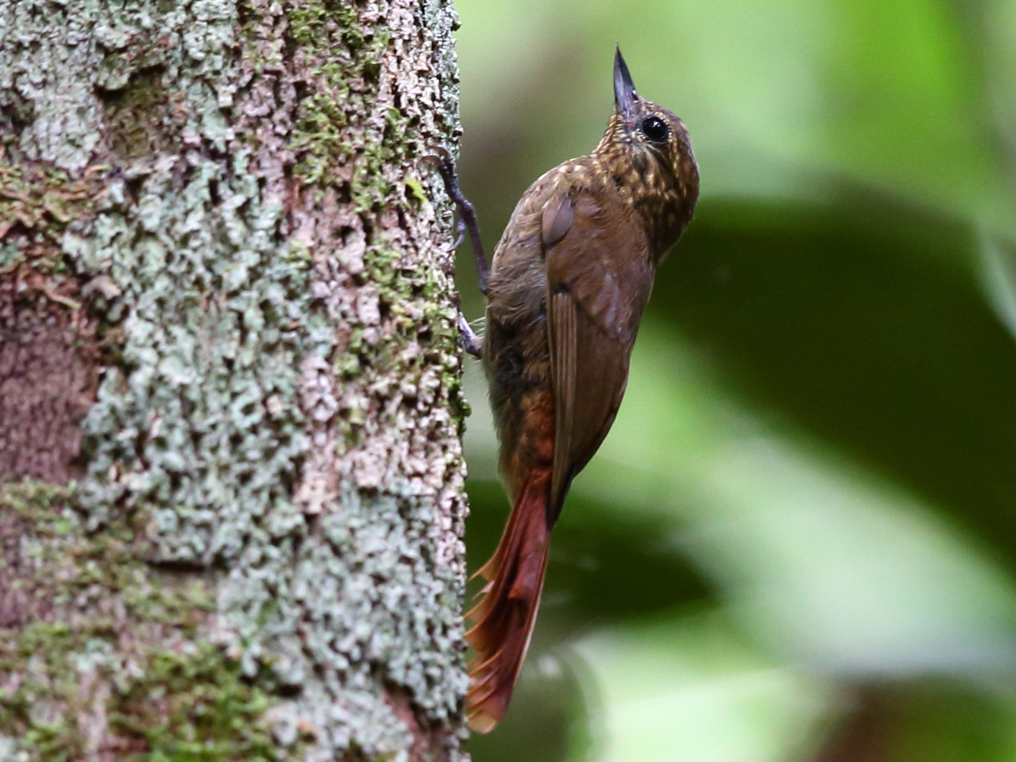 Wedge-billed Woodcreeper - Josef Widmer