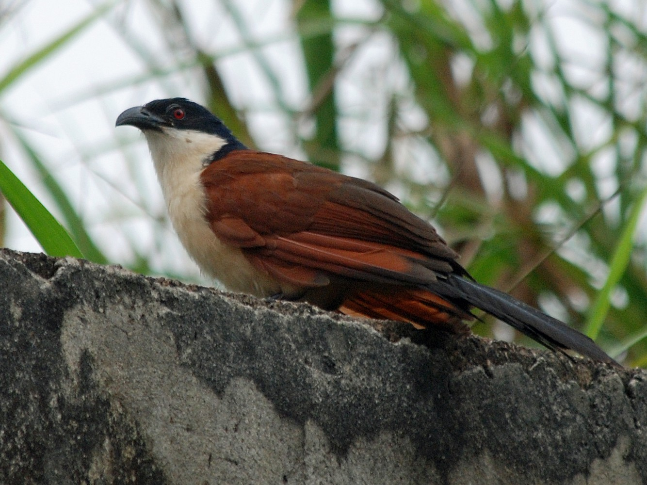 Blue-headed Coucal - Nigel Voaden