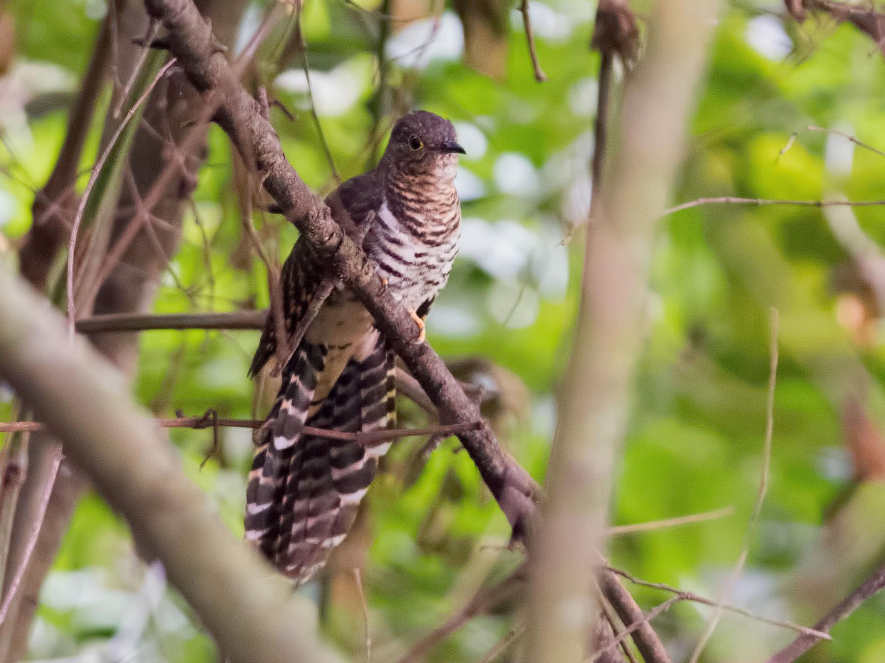 Barred Long-tailed Cuckoo - Shailesh Pinto