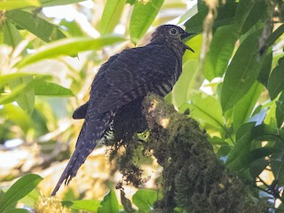 - Barred Long-tailed Cuckoo