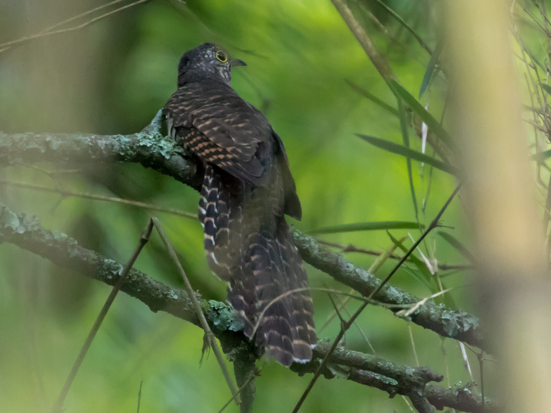Barred Long-tailed Cuckoo - Christopher Sloan