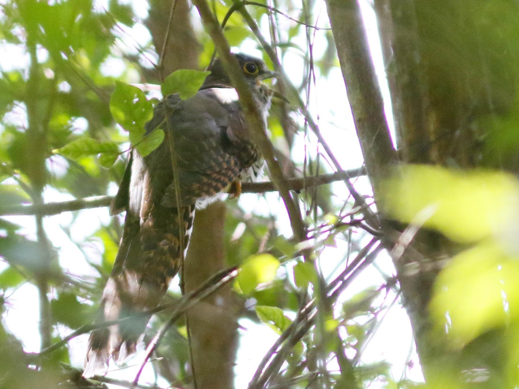 Barred Long-tailed Cuckoo - John Sullivan