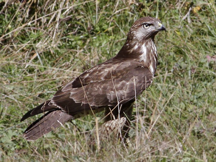 Mountain Buzzard - Mark Houston