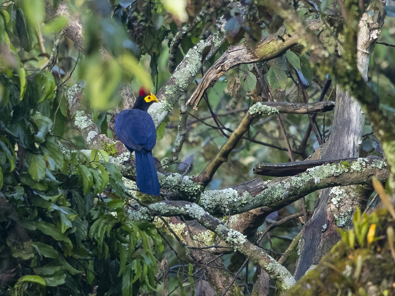 Ross's Turaco - Niall D Perrins