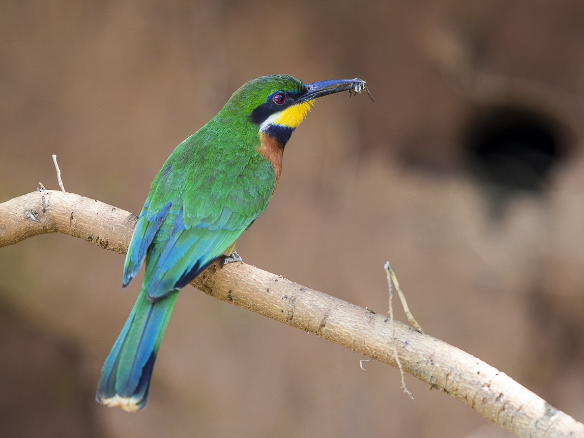 Cinnamon-chested Bee-eater - Bruno SCHMETZ