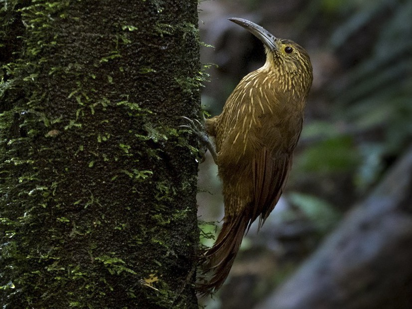 Strong-billed Woodcreeper - Lars Petersson