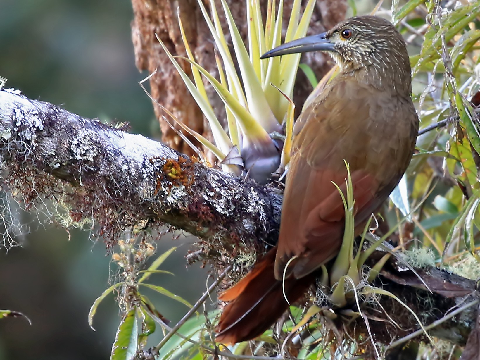 Strong-billed Woodcreeper - Phillip Edwards