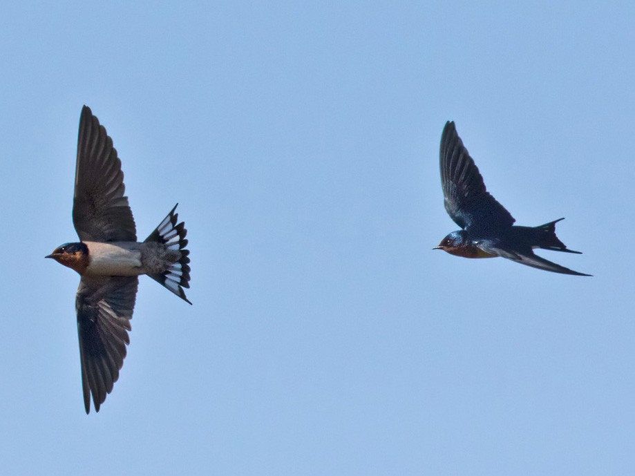 Angola Swallow - Lars Petersson