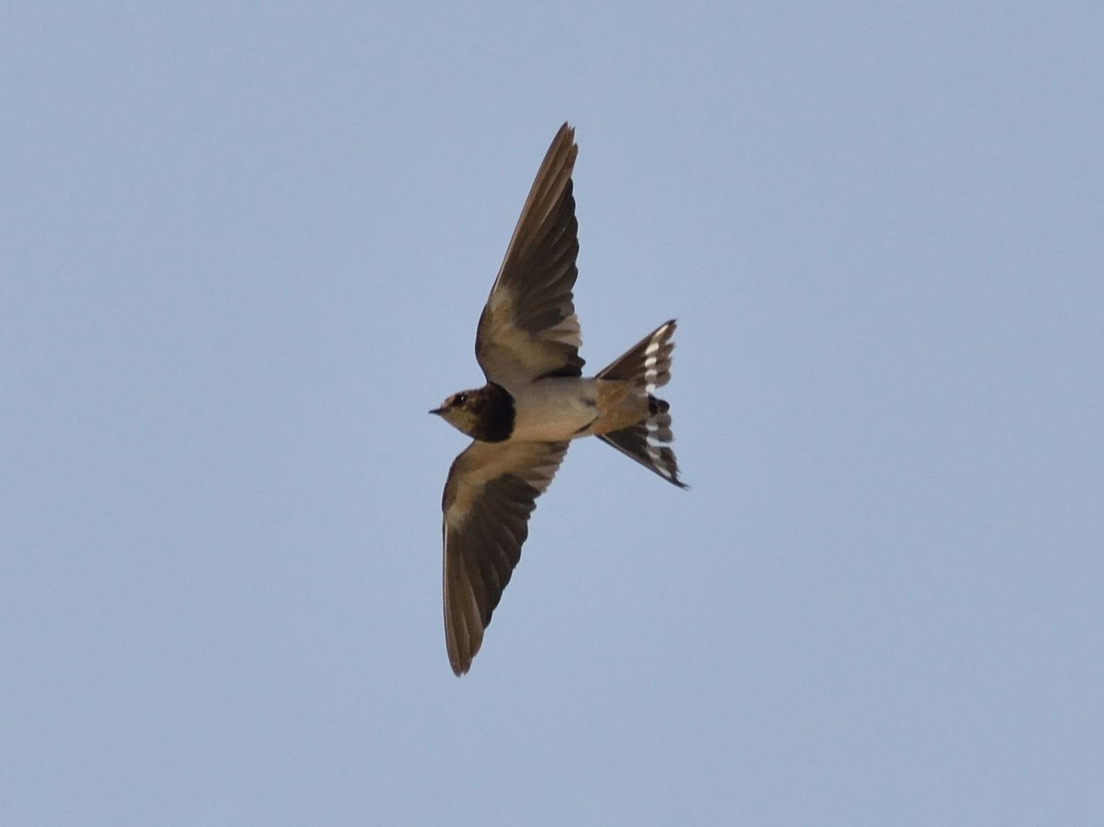 Angola Swallow - Santiago Caballero Carrera