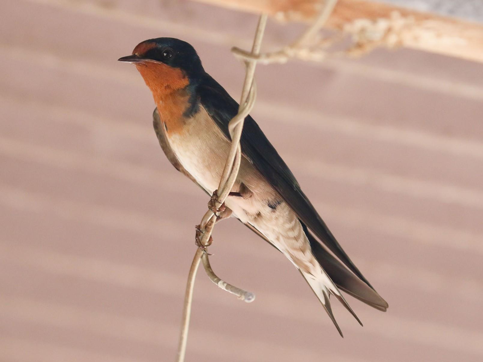 Angola Swallow - Michael O'Brien