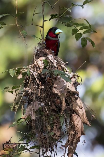 Adult on nest.