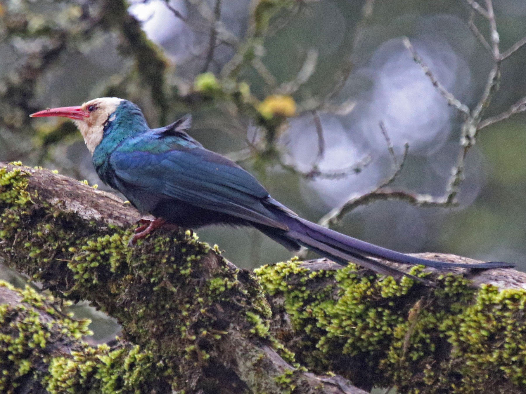 White-headed Woodhoopoe - Joan and/or George Sims
