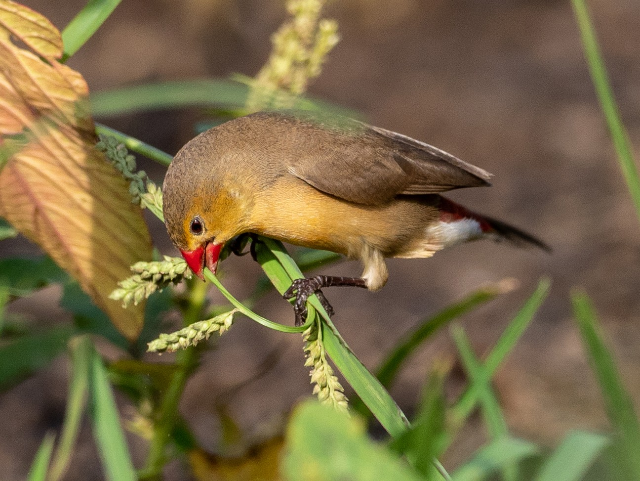 Fawn-breasted Waxbill - Forest Jarvis