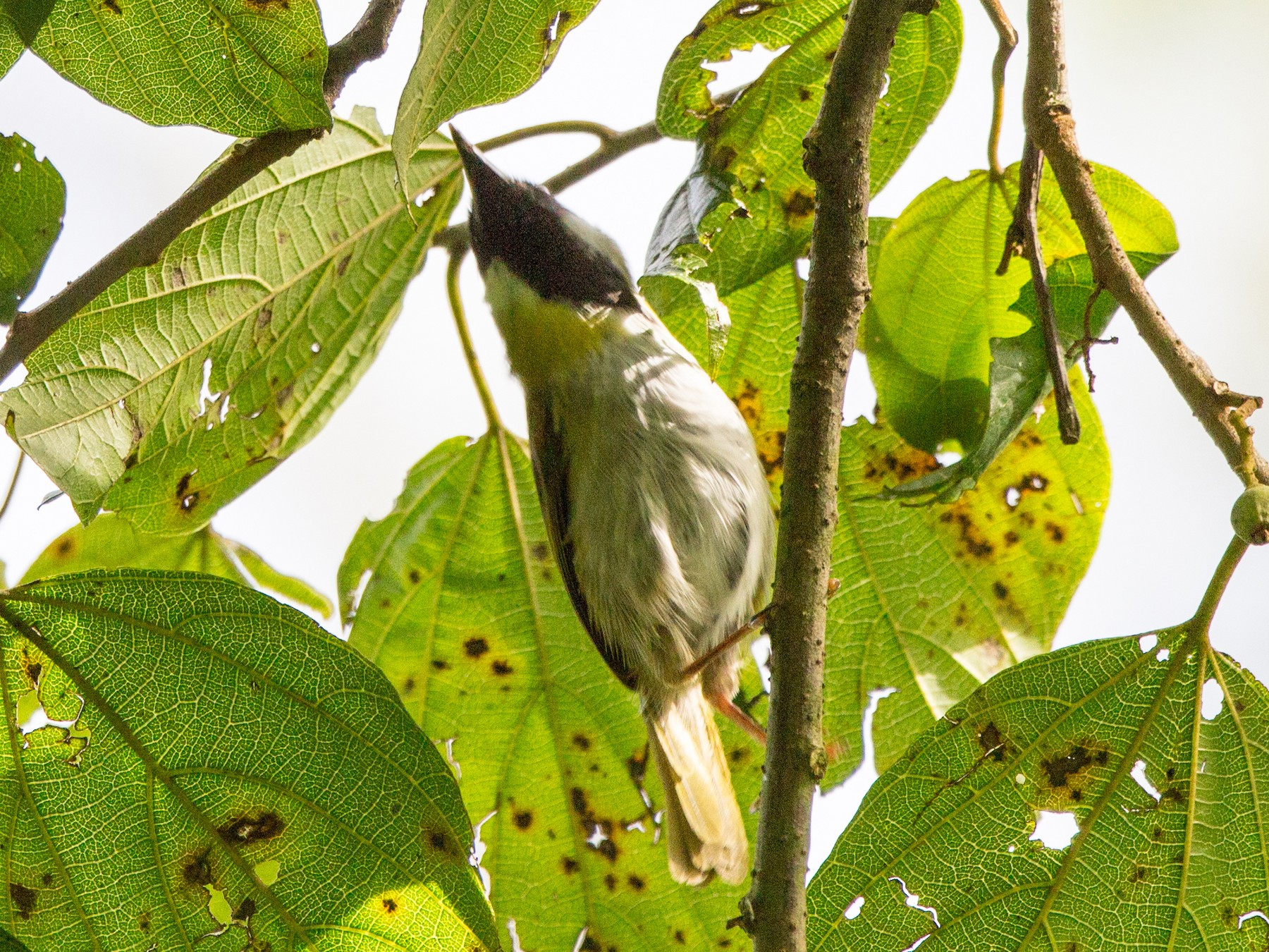 Black-faced Apalis - Rhys Marsh