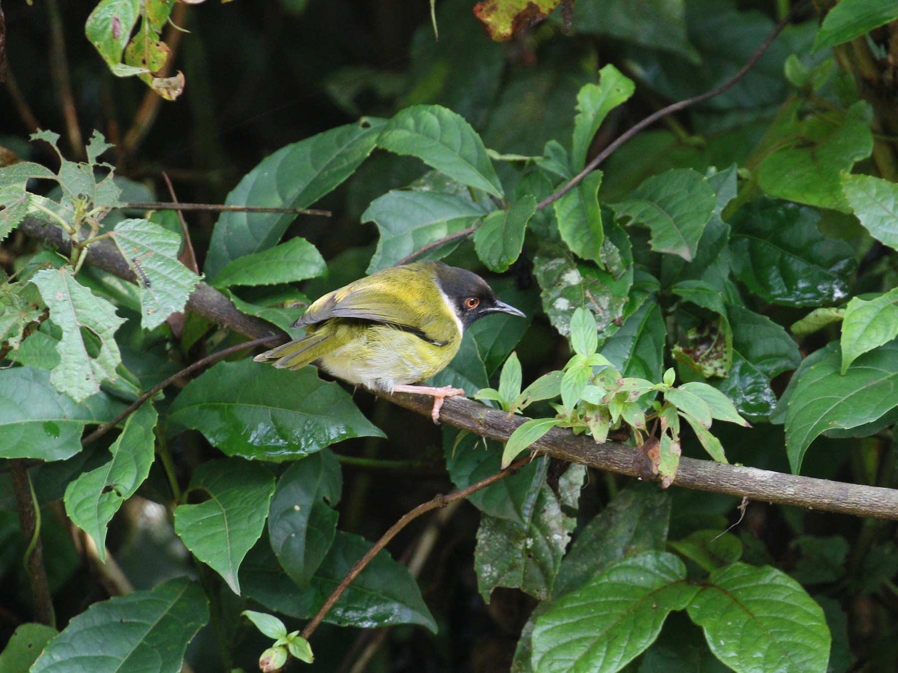 Black-faced Apalis - simon walkley