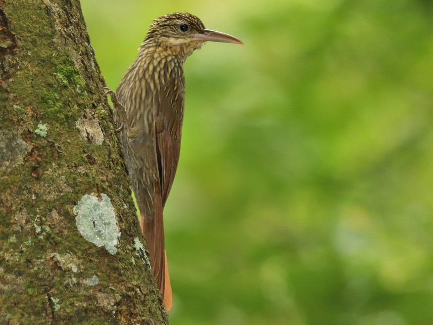 Ivory-billed Woodcreeper - Antonio Robles