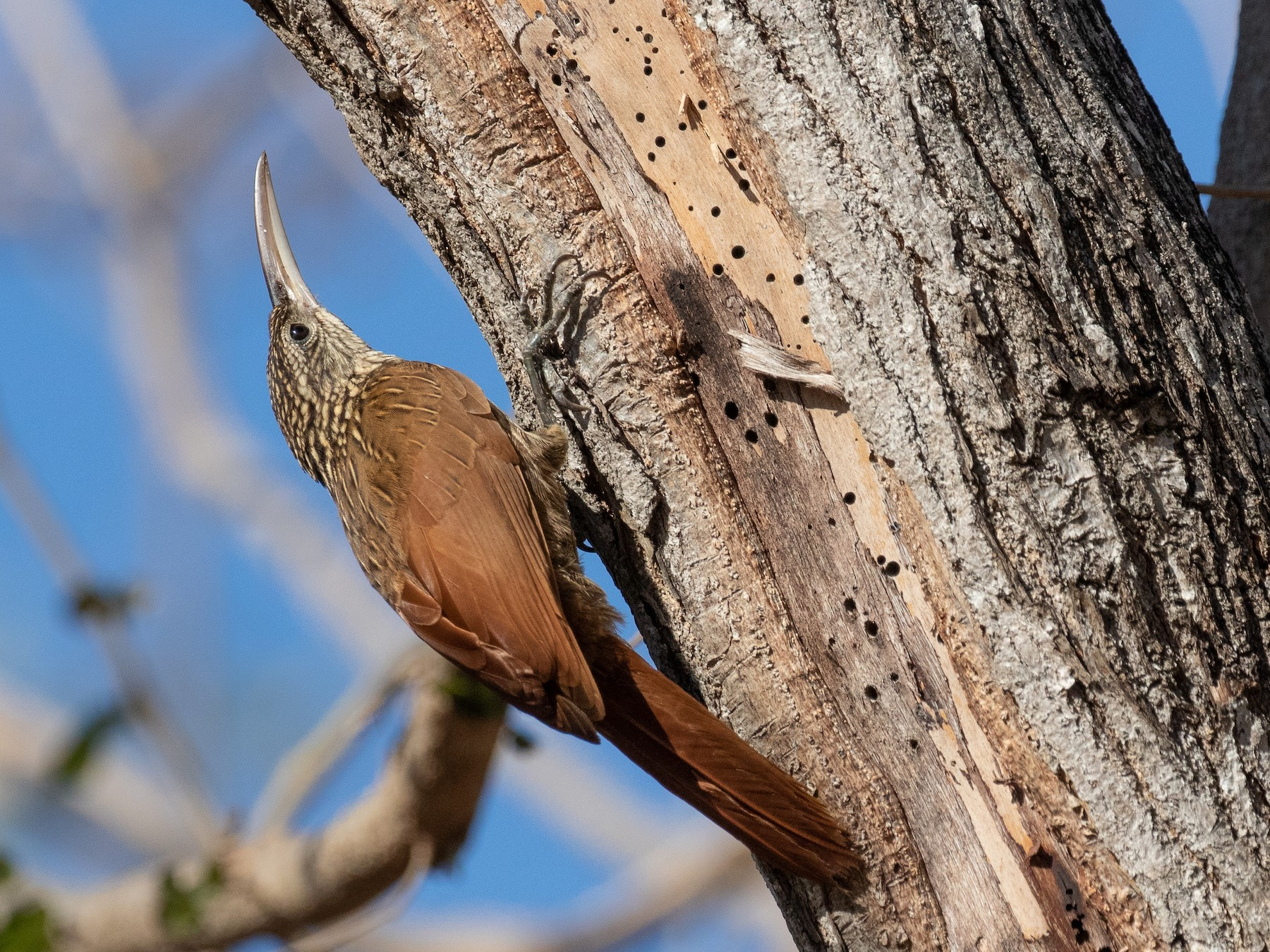 Ivory-billed Woodcreeper - Blair Dudeck