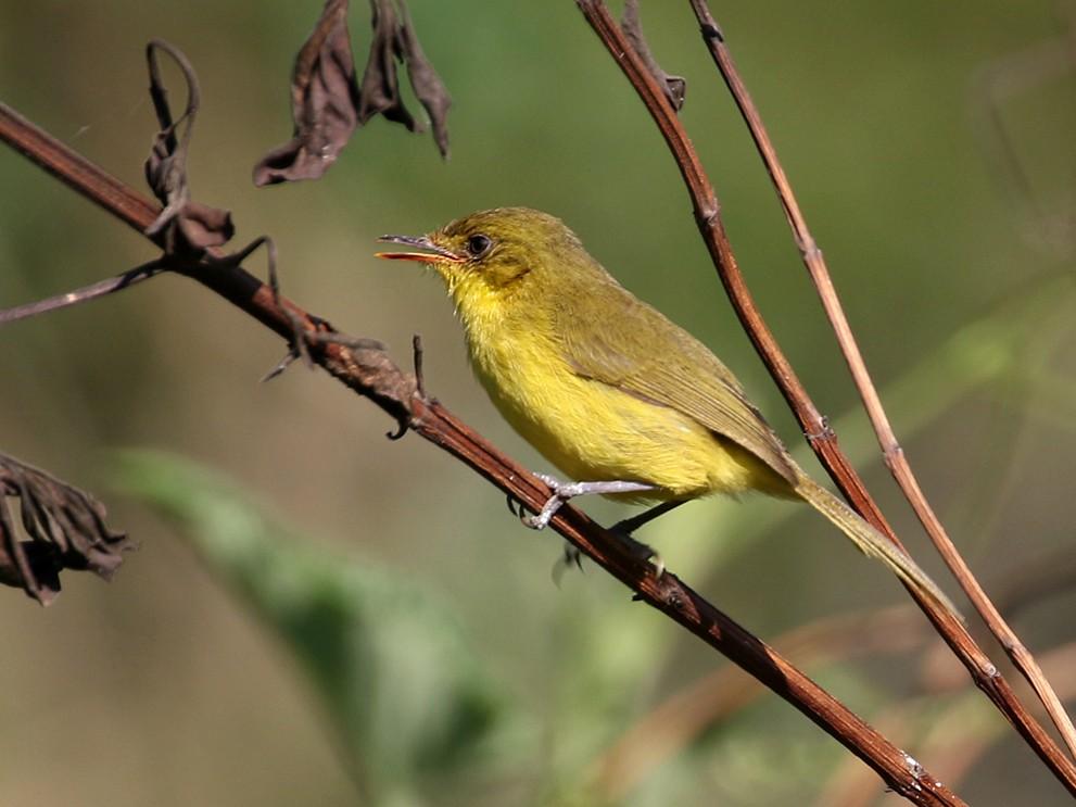 Mountain Yellow-Warbler - Charley Hesse