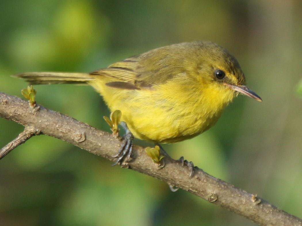 Mountain Yellow-Warbler - Tadeusz Rosinski