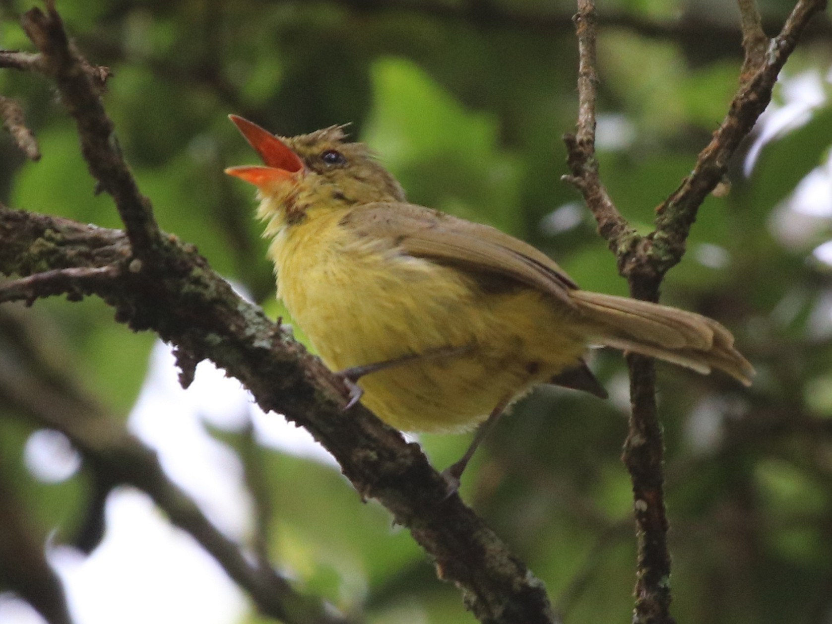 Mountain Yellow-Warbler - Jason Fidorra