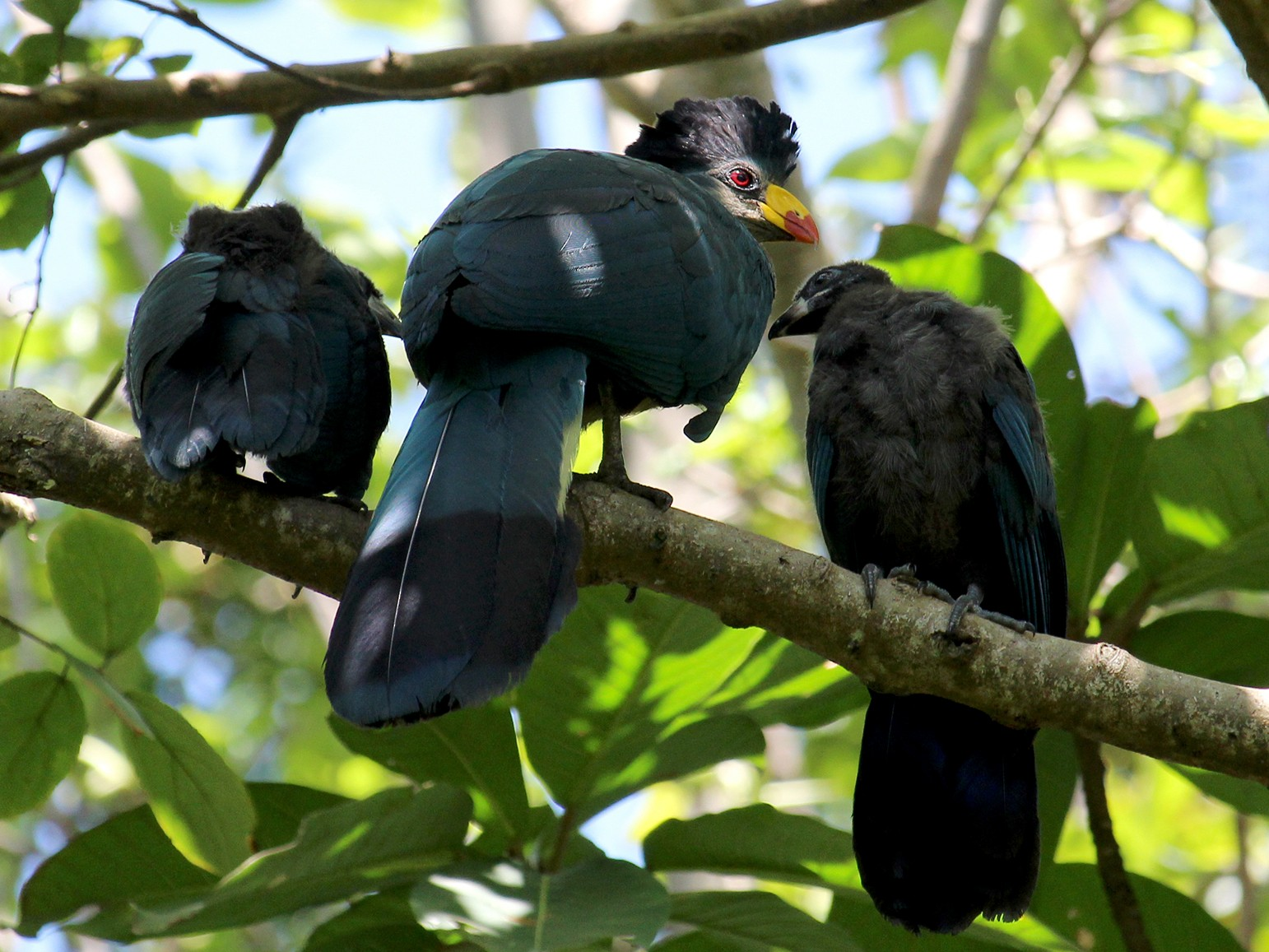 Great Blue Turaco - Thomas Desloges