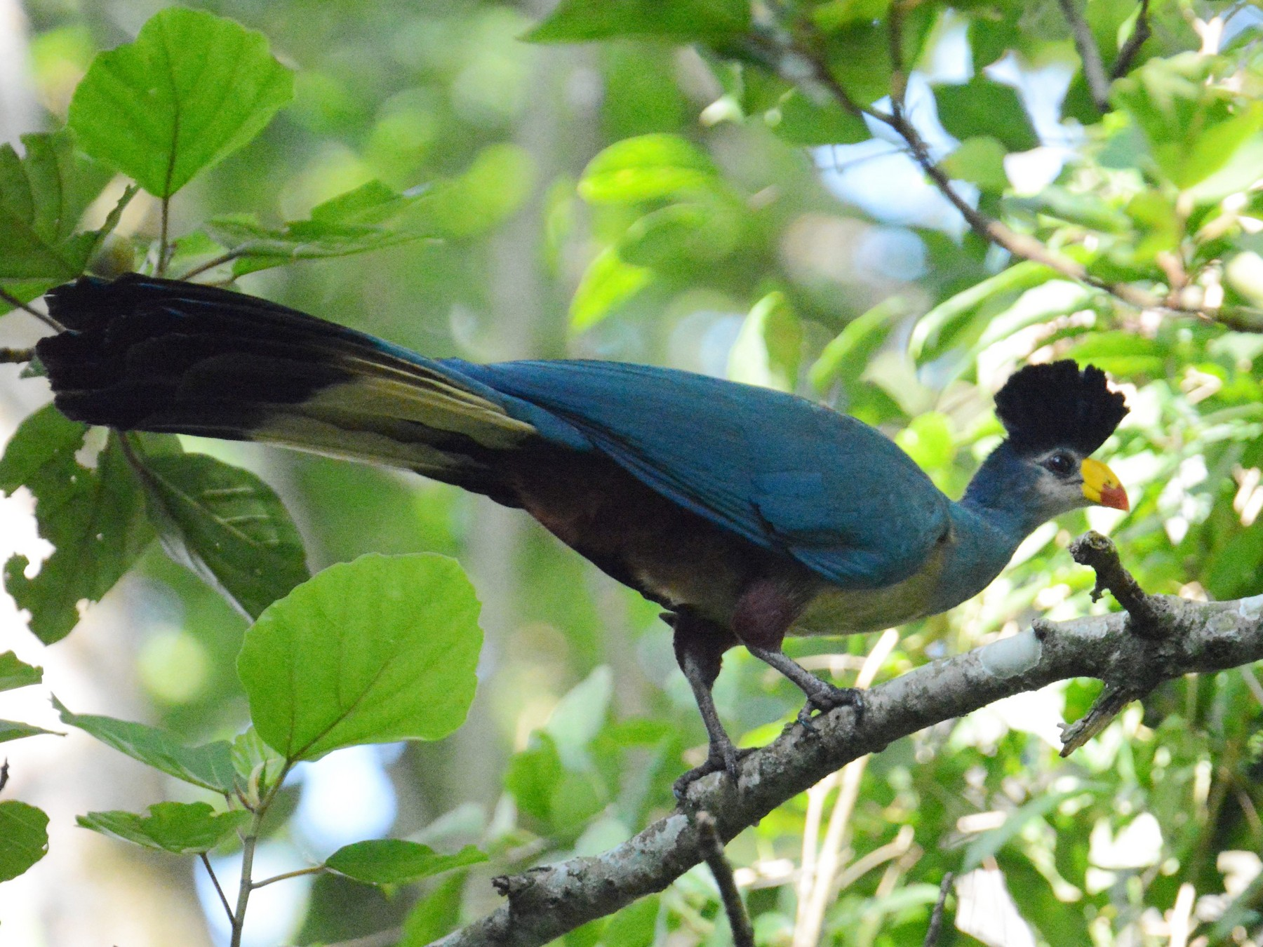 Great Blue Turaco - Kyle Kittelberger