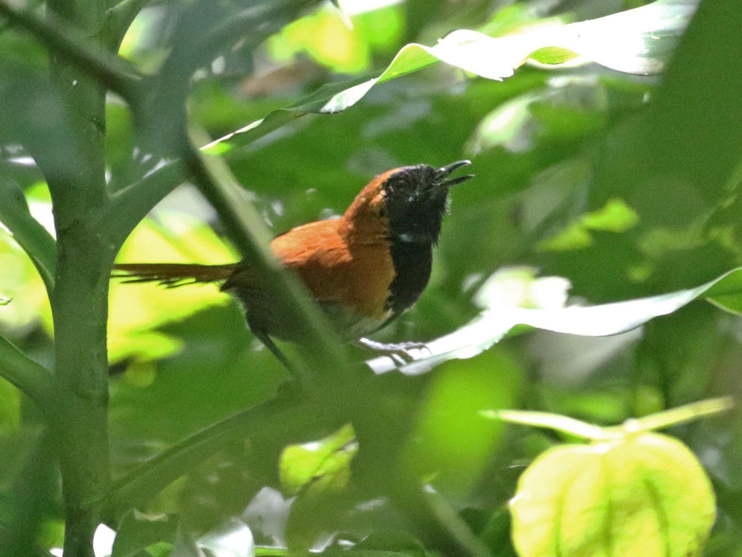 Black-faced Rufous-Warbler - Charley Hesse TROPICAL BIRDING