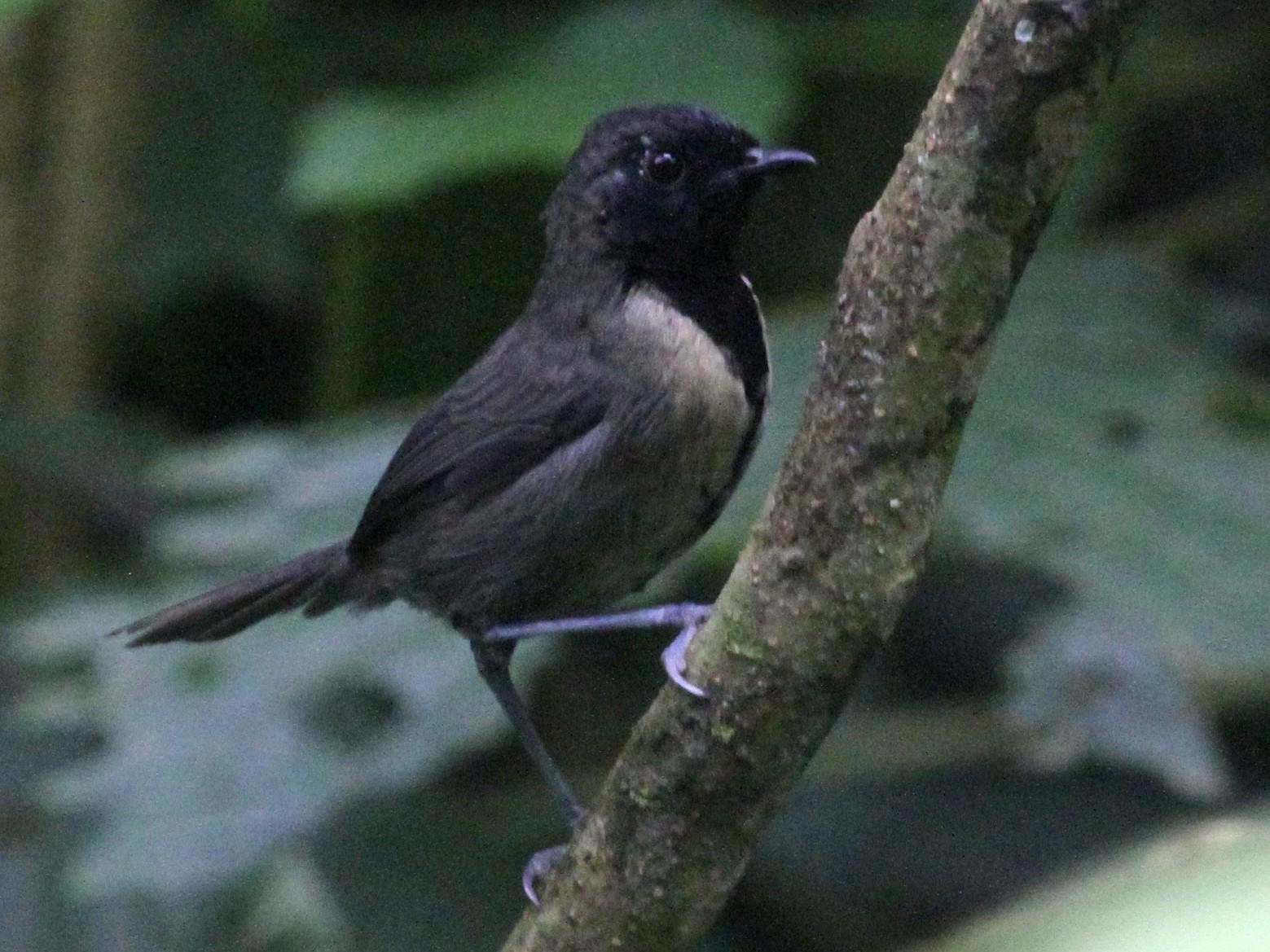 Black-faced Rufous-Warbler - Juan martinez