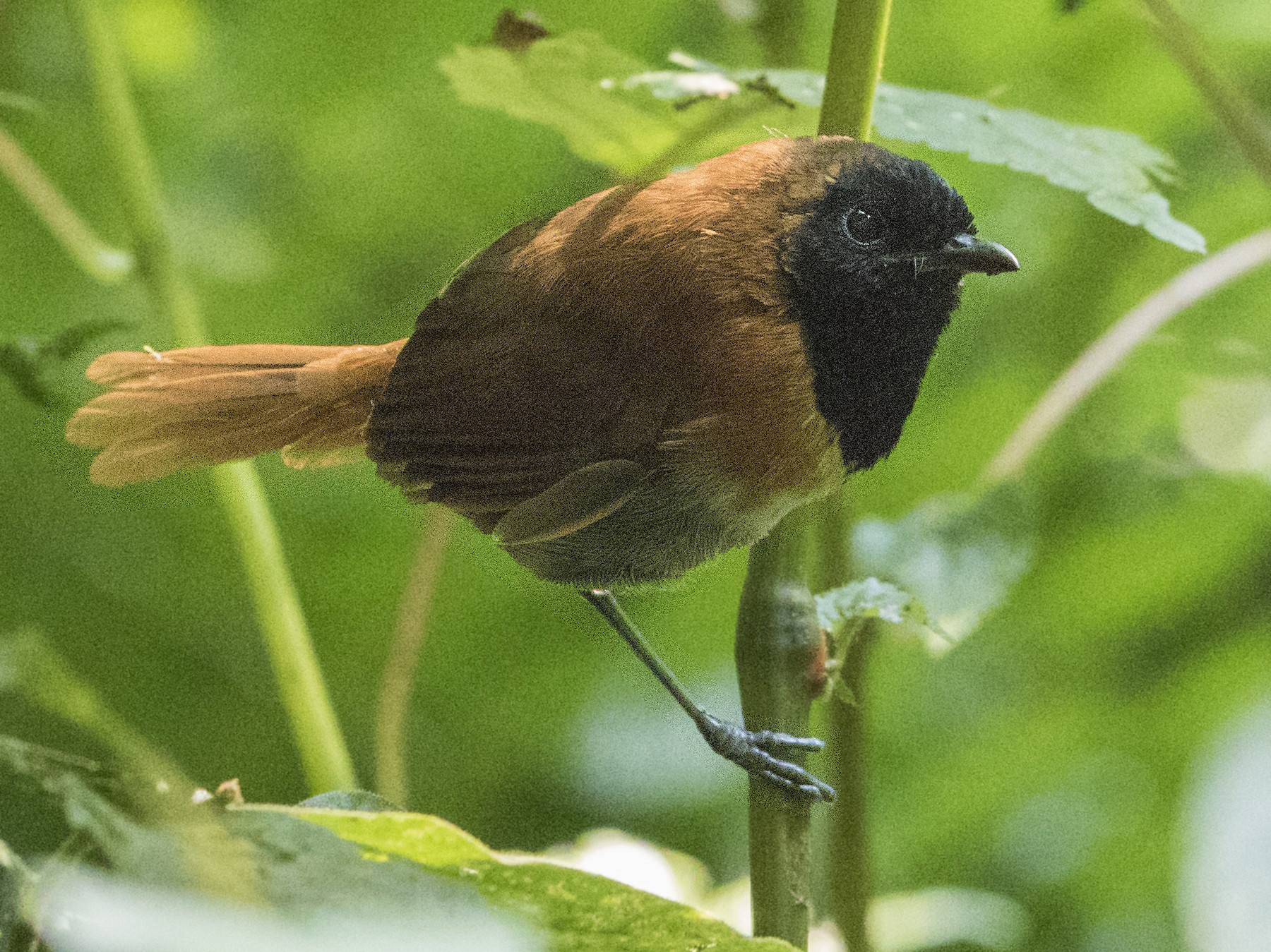 Black-faced Rufous-Warbler - Bradley Hacker