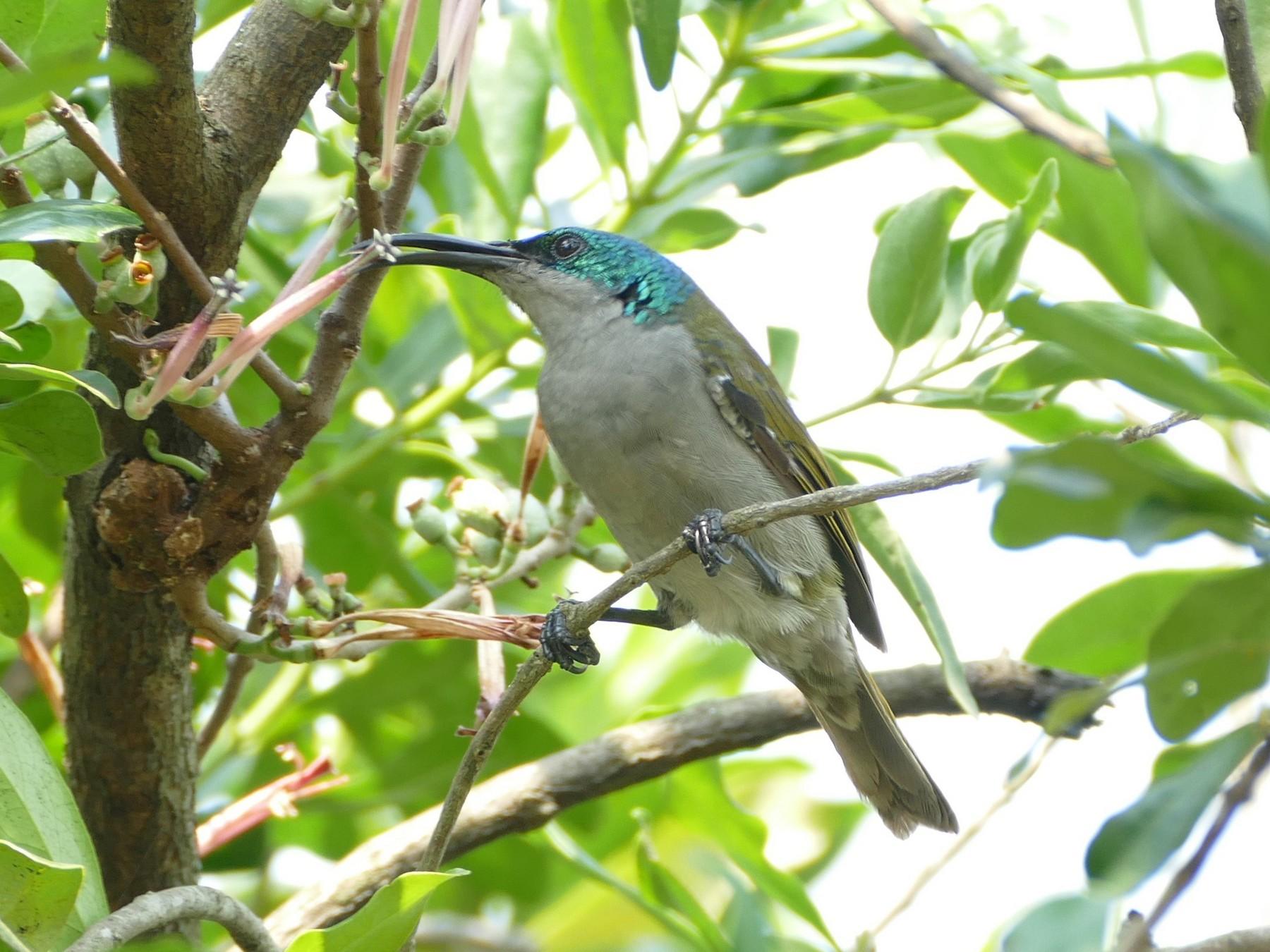 Green-headed Sunbird - Ronald de Mol