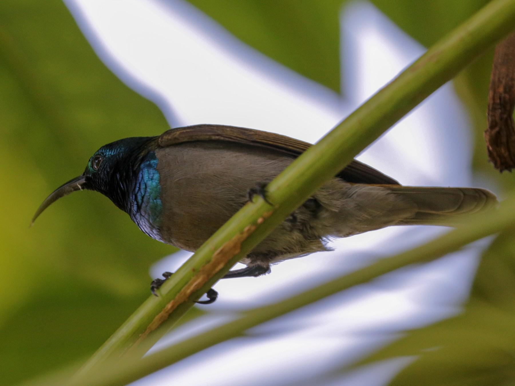 Green-headed Sunbird - Tommy Pedersen