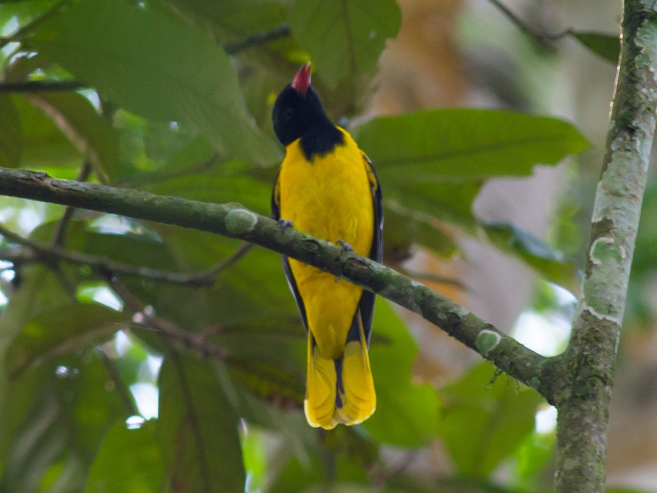 Black-tailed Oriole - Vivek Menon
