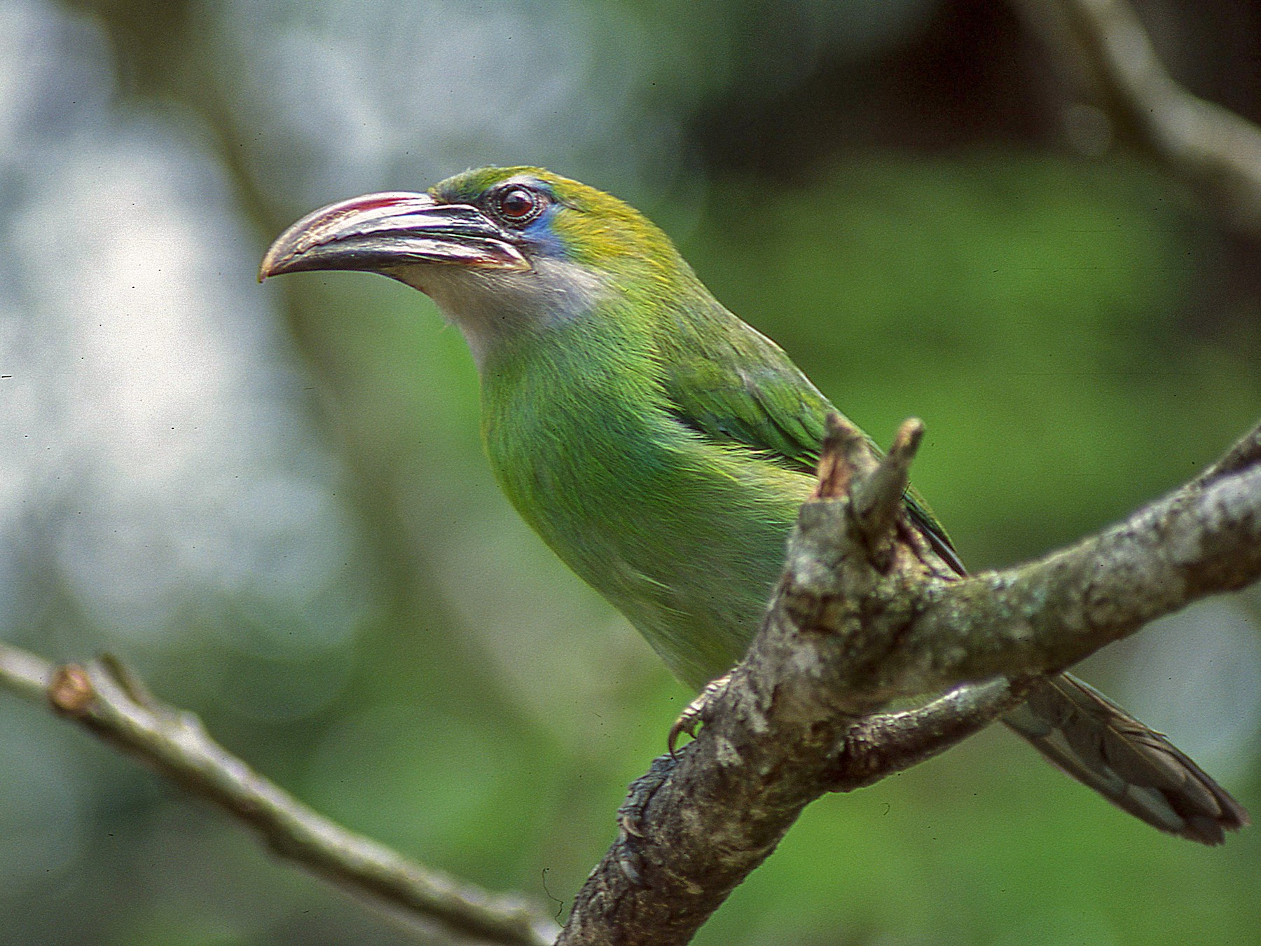 Groove-billed Toucanet - Dominic  Garcia-Hall