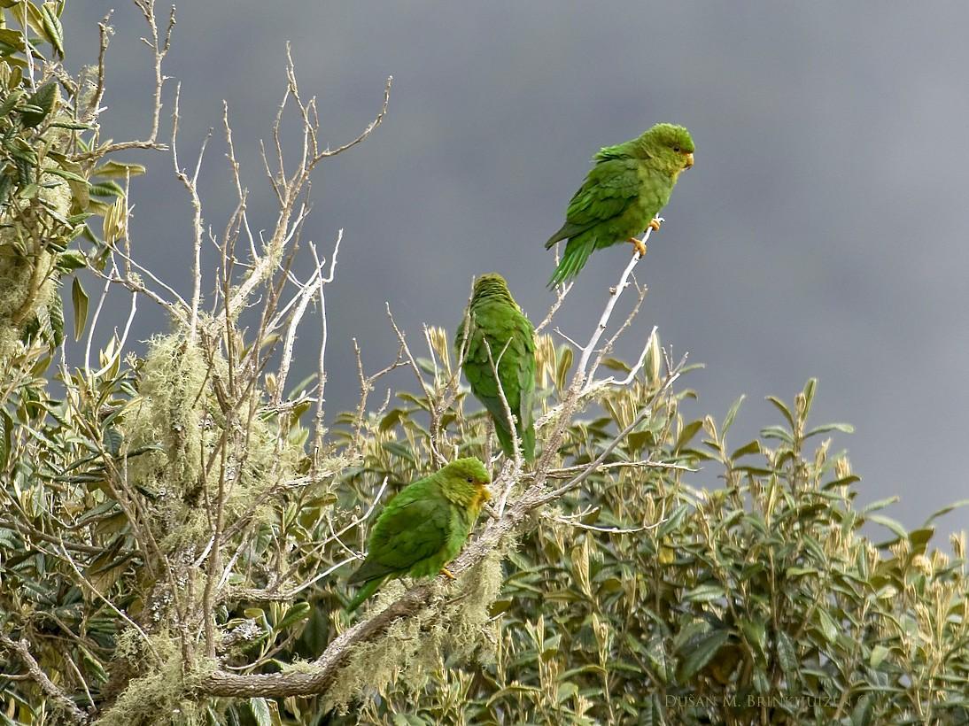 Rufous-fronted Parakeet - Dusan Brinkhuizen