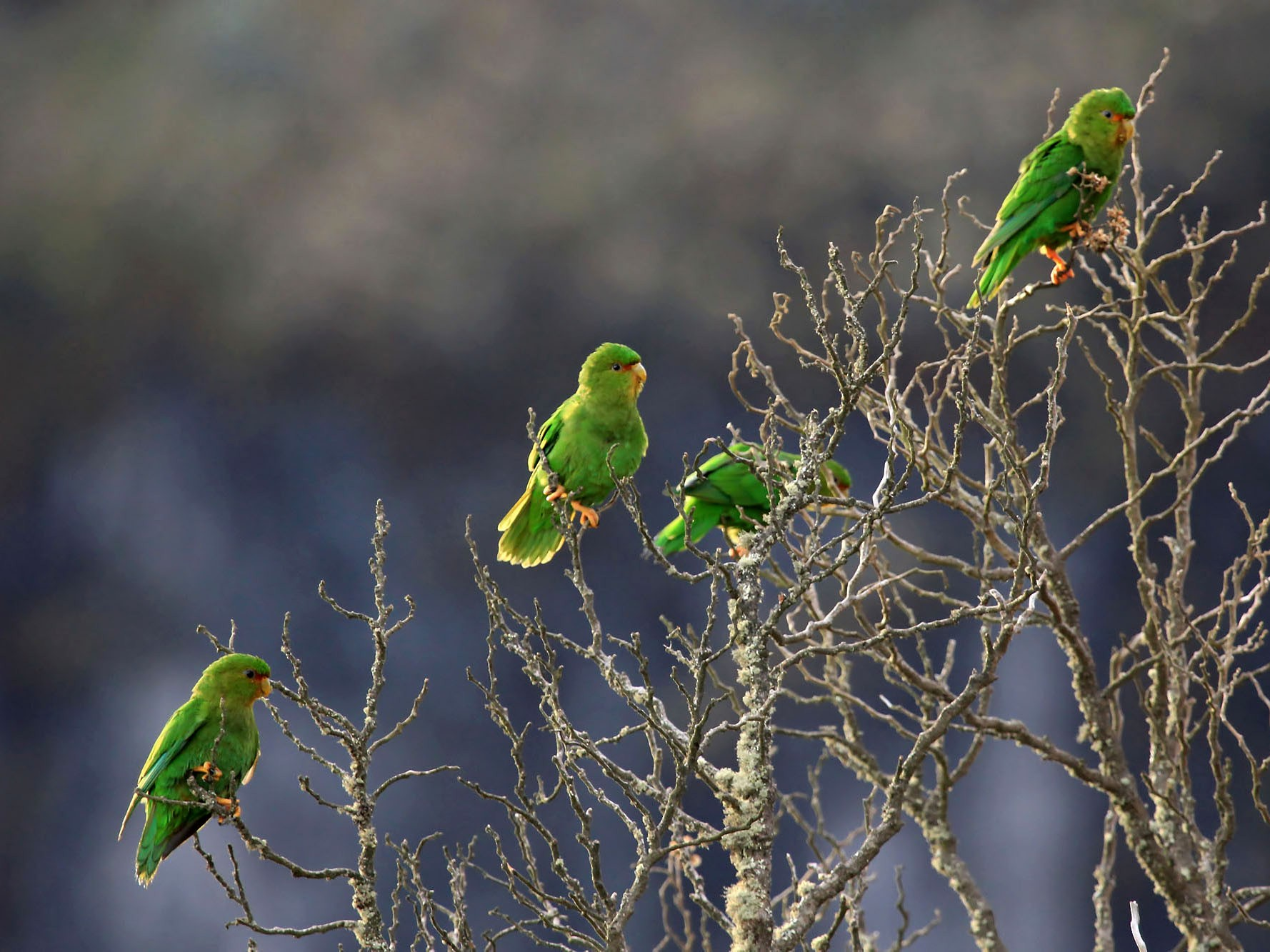 Rufous-fronted Parakeet - Phillip Edwards