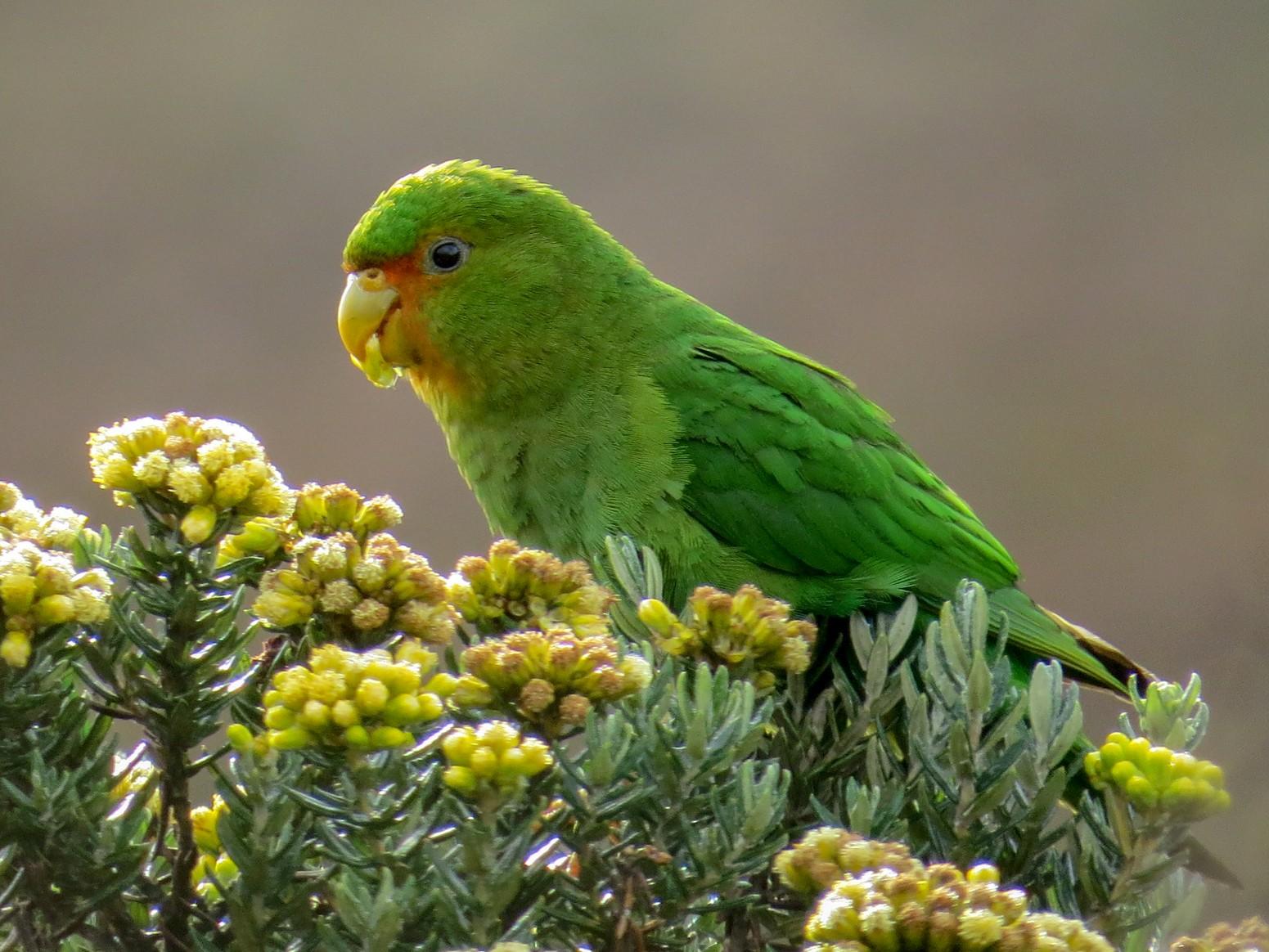 Rufous-fronted Parakeet - Juan carlos Hincapie consonni