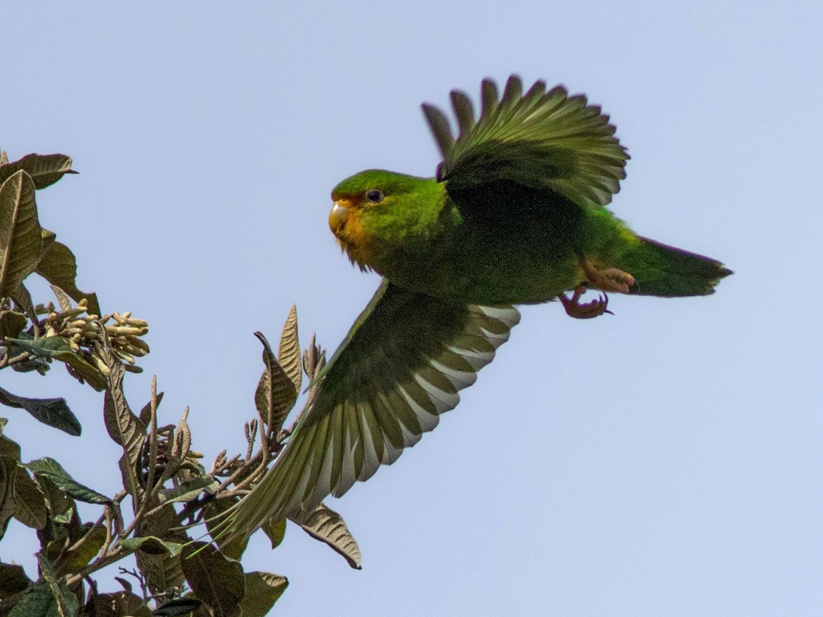 Rufous-fronted Parakeet - Joachim Bertrands