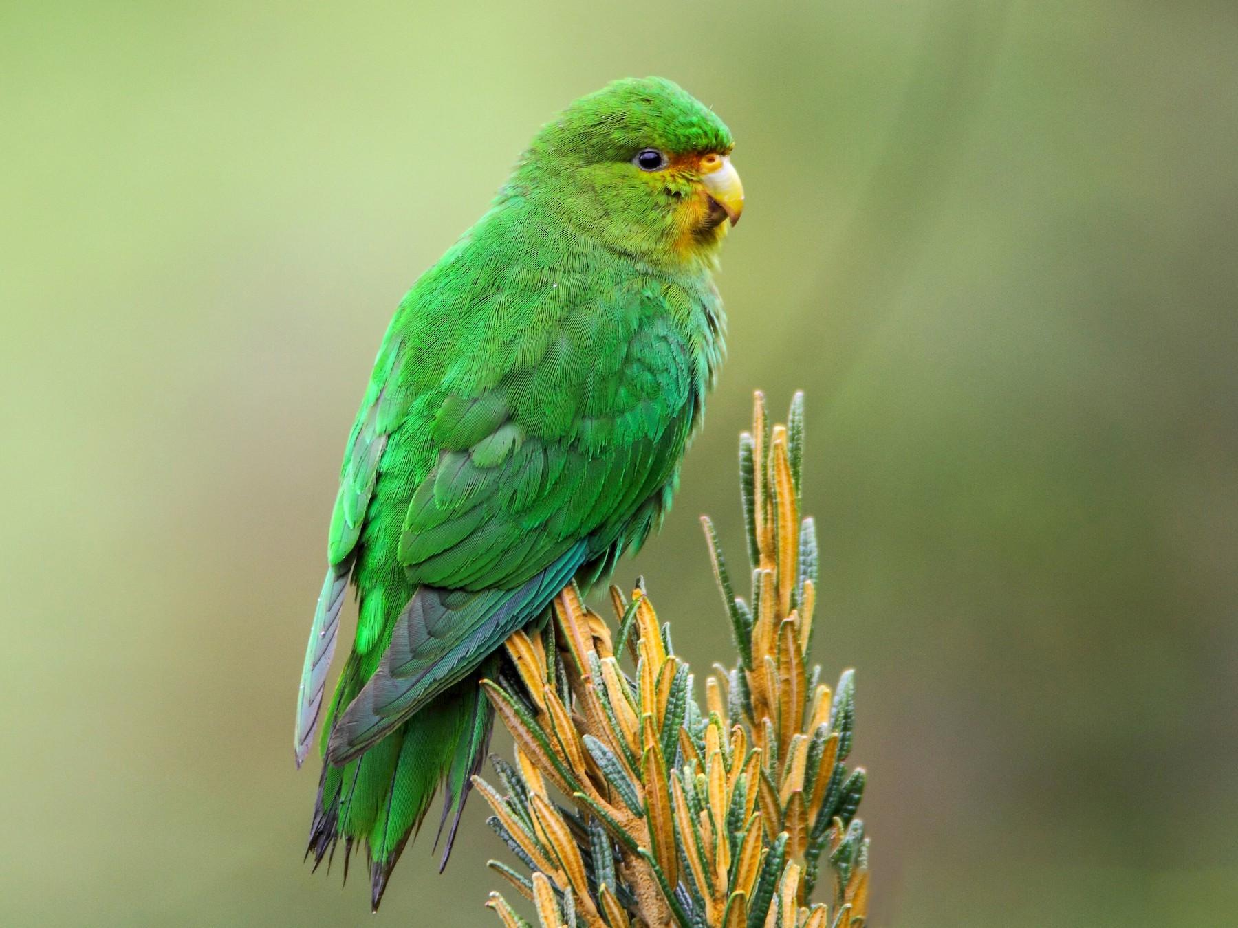 Rufous-fronted Parakeet - Diego Monsalve serna