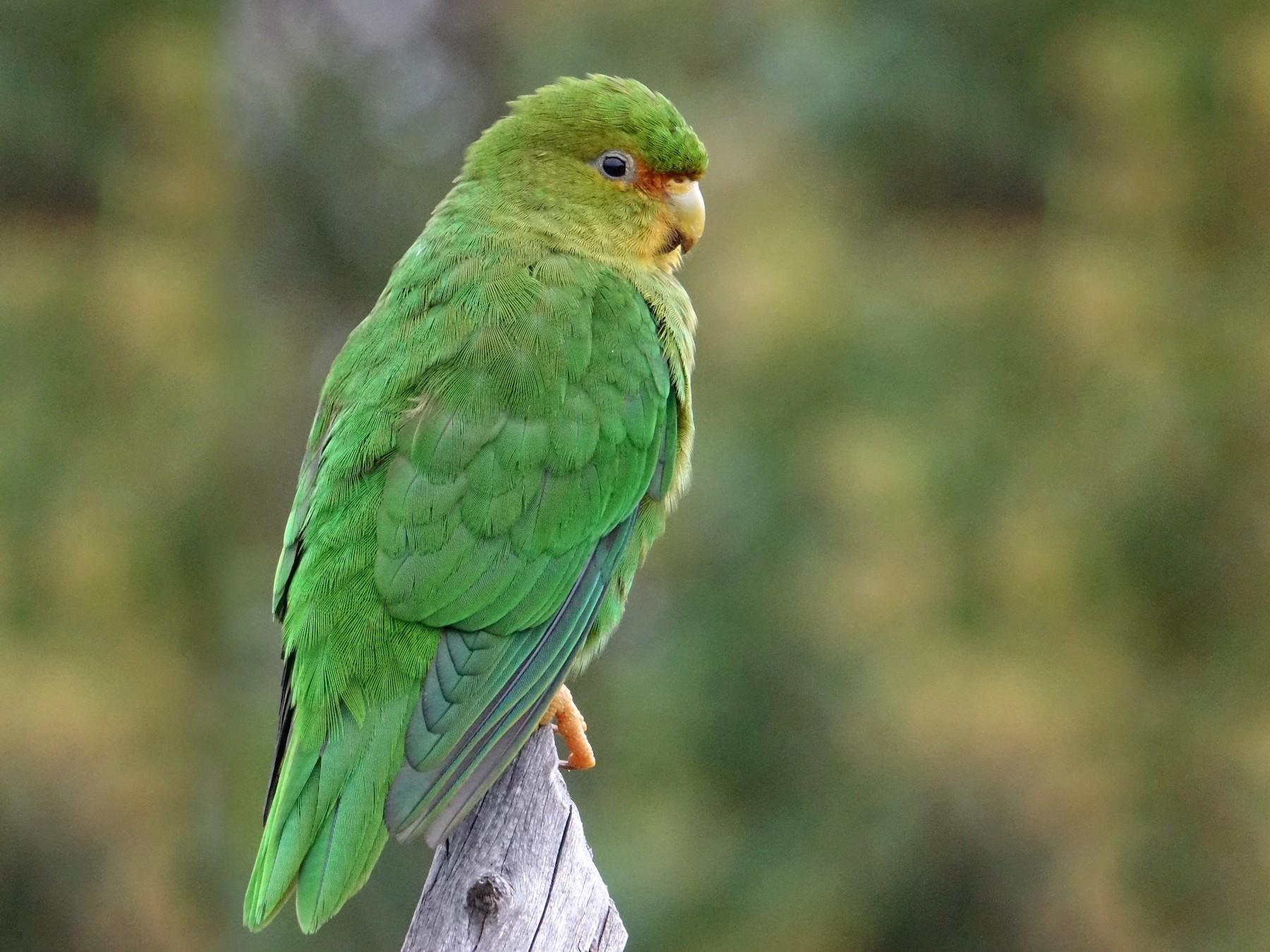 Rufous-fronted Parakeet - Doug Swartz