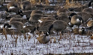 Cackling Goose, ML24046071