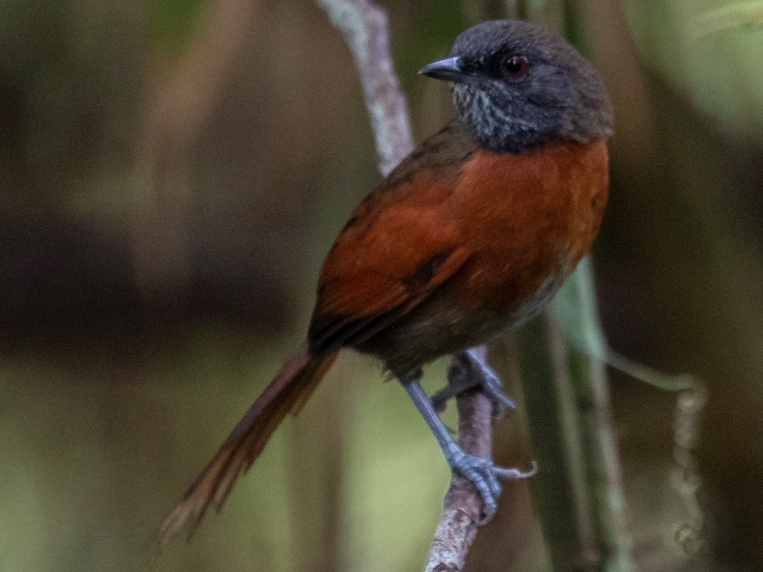 Rufous-breasted Spinetail - Aaron Juan