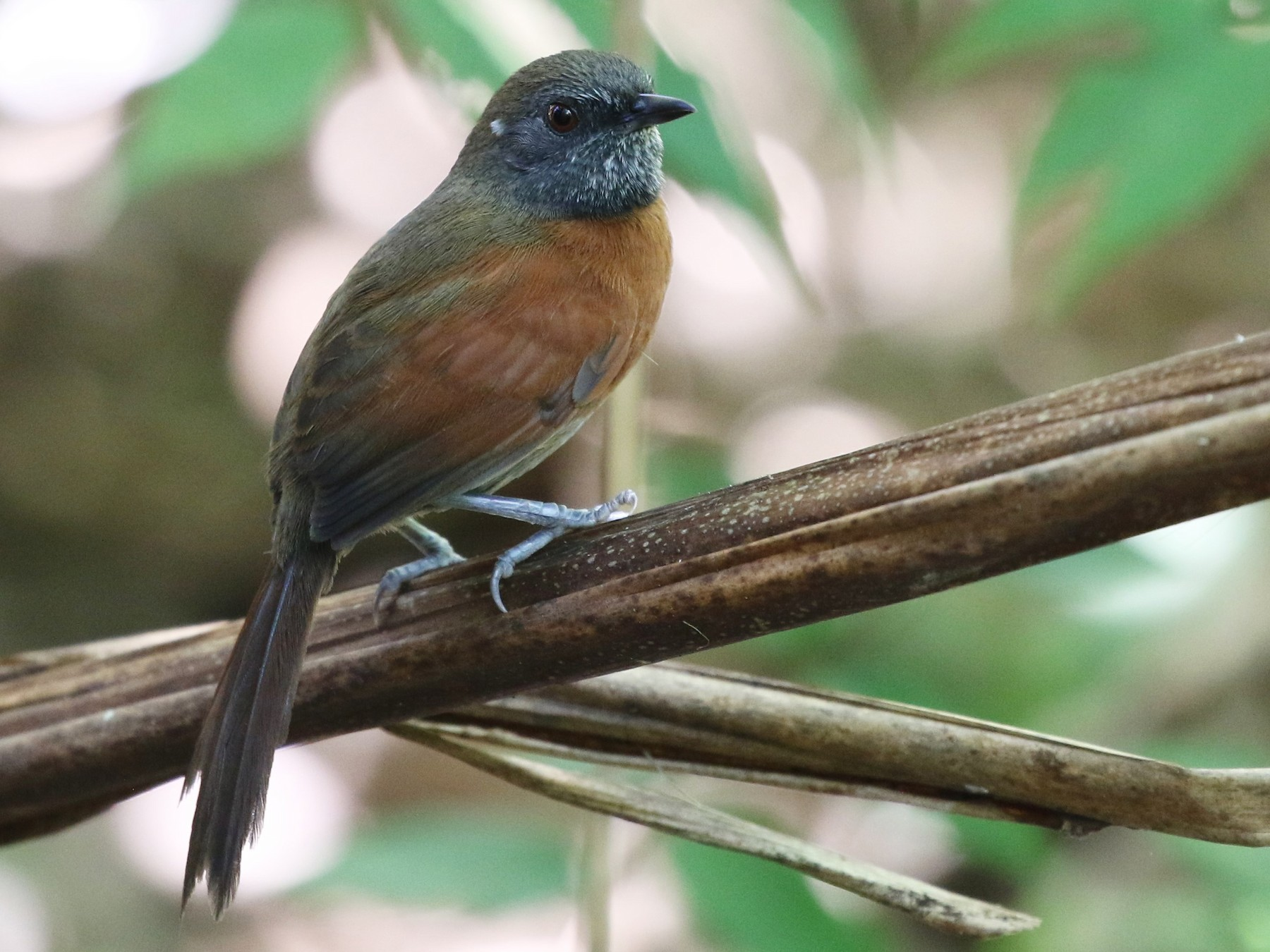Rufous-breasted Spinetail - Dean LaTray