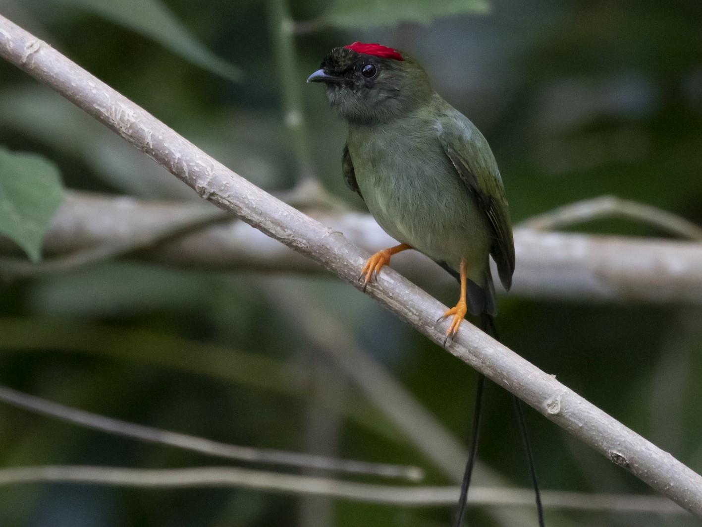 Long-tailed Manakin - Marcelo Corella
