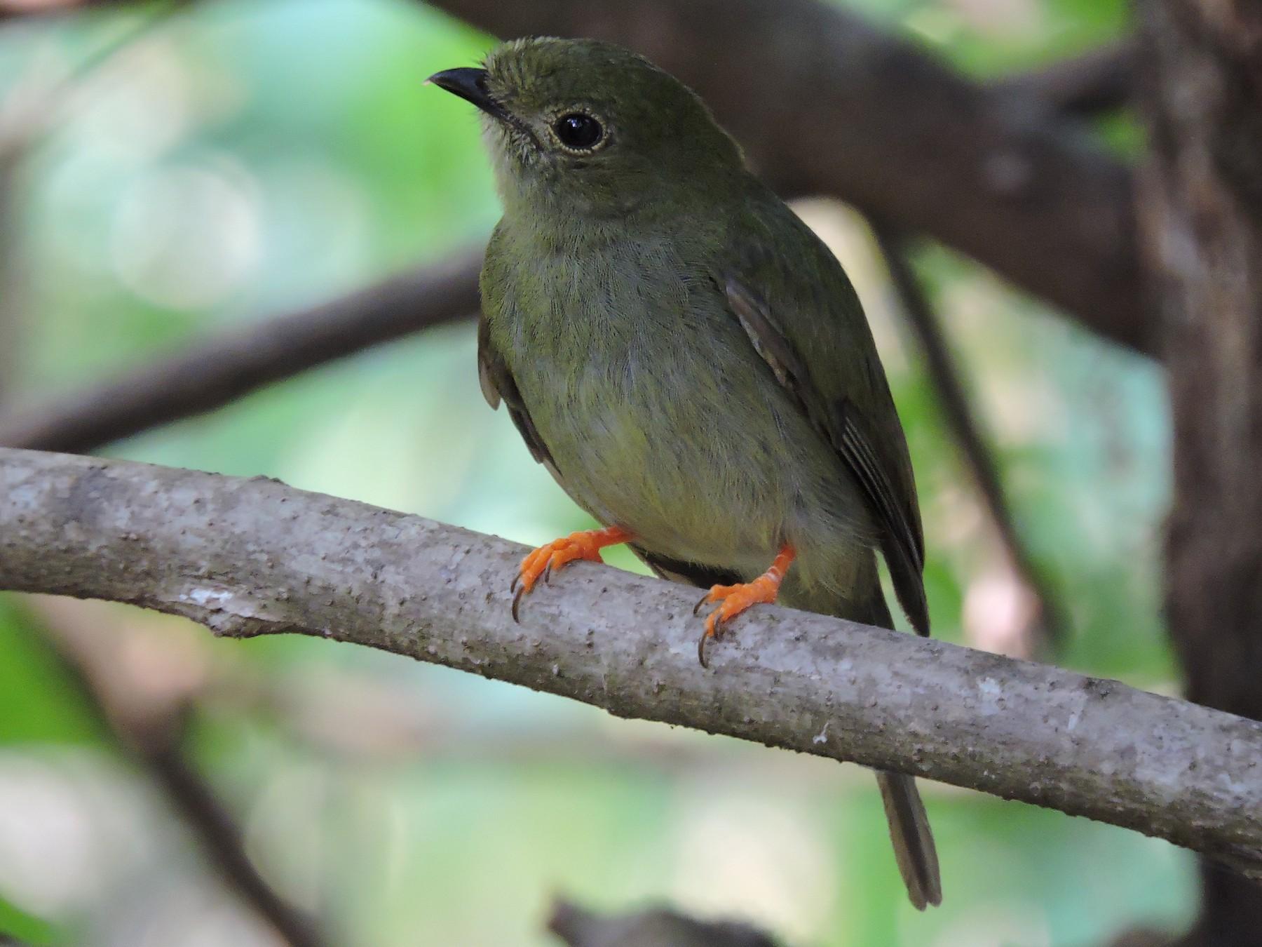 Long-tailed Manakin - Ruth Rodriguez